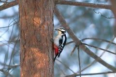 Alimento do achado do Woodpecker no tronco do pinho em fores do inverno foto de stock