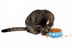 Alimento do amor dos gatos Imagem de Stock Royalty Free