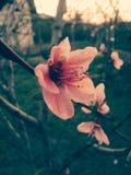 Alimento do pêssego do fruto de árvore da flor Imagem de Stock
