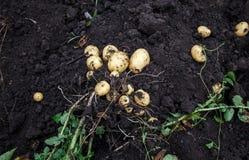 Alimento fresco di verdure naturale di agricoltura Patata verde cruda nella terra Immagine Stock