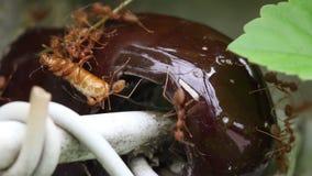 Alimento levando da formiga vermelha a aninhar-se filme