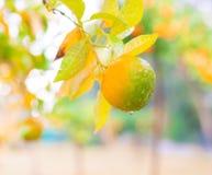 Alimento Mandarino, fine su Immagine Stock Libera da Diritti