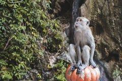 Alimento messo ed aspettante di una scimmia Fotografia Stock