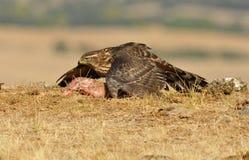 Alimento nascondentesi del giovane falco Fotografia Stock