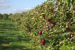 Alimento naturale dell'azienda agricola organica di frutti degli alberi del frutteto di agricoltura delle mele fotografia stock libera da diritti
