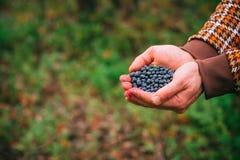 Alimento orgânico escolhido fresco das bagas do mirtilo nas mãos do homem fotografia de stock