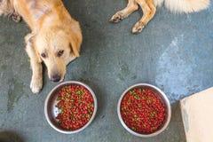 Alimento para cães com golden retriever Imagem de Stock
