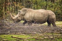 Alimento para os rinocerontes Fotografia de Stock
