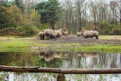 Alimento para os rinocerontes Imagem de Stock