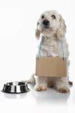 Alimento que espera del perro blanco para Foto de archivo