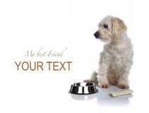 Alimento que espera del perro blanco para Imagen de archivo libre de regalías