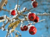 Alimento rojo del espino de la baya para los pájaros. Invierno. Imagen de archivo libre de regalías