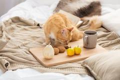 Alimento rosso di fiuto del gatto di soriano sul letto a casa Fotografie Stock