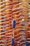 Alimento in tensione della via dello spuntino di scorpionas in Cina Fotografie Stock Libere da Diritti