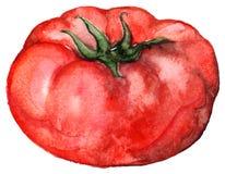 Alimento vegetal do tomate maduro vermelho da aquarela isolado Foto de Stock Royalty Free