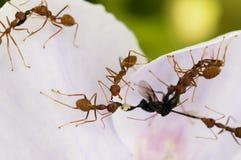 Alimento vermelho das formigas Fotografia de Stock