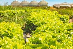 Alineación de ensaladas maduras en un campo orgánico fotografía de archivo libre de regalías