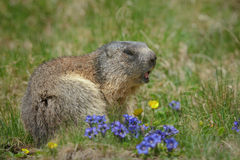 Alipine marmot with summer flowers Royalty Free Stock Photos