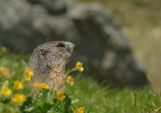 Alipine marmot with wild flowers Stock Photography