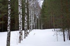 Alise el tiro aéreo a lo largo de árboles nevosos del invierno sobre el bosque del pino, tiempo ruso frío Foto de archivo libre de regalías