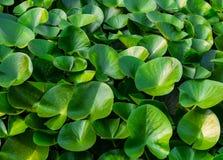 Alise largamente o verde verde do eco do fundo do lago da planta da planta do teste padrão da folha dos lótus Fotografia de Stock Royalty Free