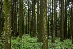 Alishan, Chiayi City, Taiwan primeval forest Stock Photography