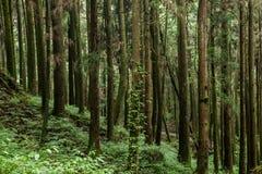 Alishan Chiayi stad, Taiwan urtids- skog Arkivbilder