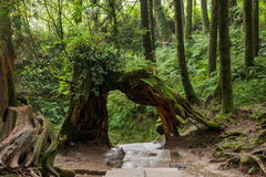 Alishan Chiayi stad, Taiwan urtids- skog Arkivfoto