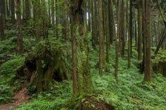 Alishan, ciudad de Chiayi, bosque primitivo de Taiwán fotos de archivo