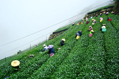 Alishan tea fields Stock Image
