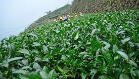 Alishan-Teefelder Lizenzfreie Stockbilder