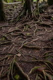 Alishan virgin forest in the roots Royalty Free Stock Photography