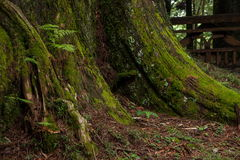 Alishan virgin forest in the roots Stock Images