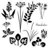 Alismatales plant order Royalty Free Stock Image