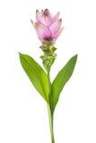 Alismatifolia de la cúrcuma Imagen de archivo libre de regalías