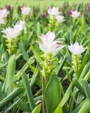 Alismatifolia de safran des Indes ou tulipe blanc du Siam Images libres de droits