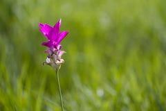 Alismatifolia 'rose' 'Siam Tulip' de safran des Indes Photo libre de droits