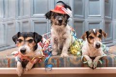 Aliste para el partido - tres perros de Jack Russell del carnaval imágenes de archivo libres de regalías