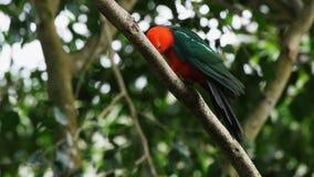 alisterus澳大利亚国王鹦鹉scapularis 股票视频