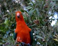 alisterus australijscy królewiątka papugi scapularis Obrazy Royalty Free
