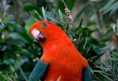 alisterus australijscy królewiątka papugi scapularis Zdjęcia Royalty Free