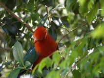 alisterus królewiątka papugi scapularis Obraz Royalty Free