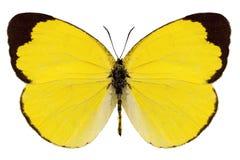 Alitha di Eurema di specie della farfalla Immagine Stock Libera da Diritti