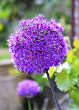 Alium Stock Photo