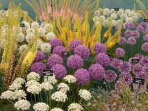 Alium blommar på Chelsea Flower Show 2013 Royaltyfri Bild