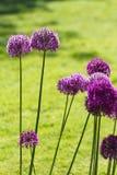 Alium cebulkowy kwiat obraz royalty free