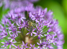Alium Royalty Free Stock Images
