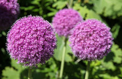 Alium flower Royalty Free Stock Photography