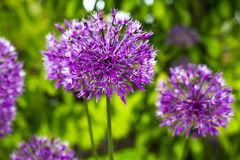 Alium Flower Design. Closeup of a purple allium flower on green Royalty Free Stock Image