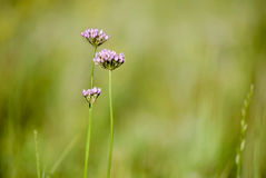 Alium Flower in the meadow Royalty Free Stock Photo